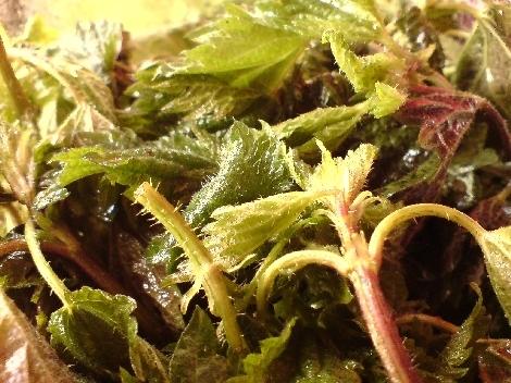 brennessel delikat als salat