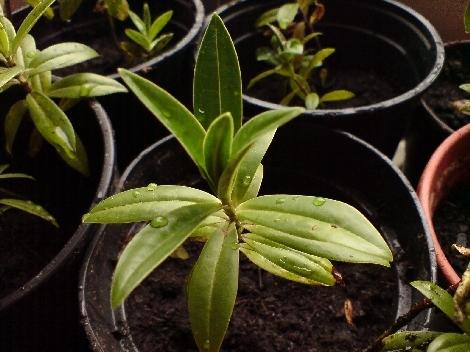 hebe salicifolia setzling