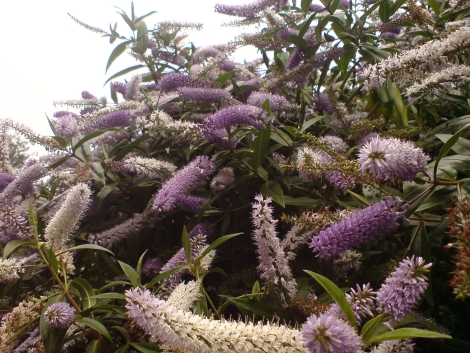 hebe salicifolia wegerich neuseeland strauchveronika
