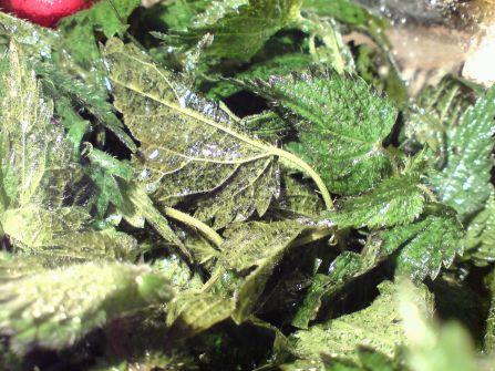herbstbrennnesseln im salat