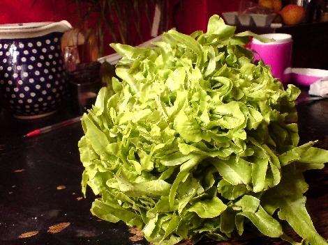 till alte salat sorten zeigen sich wild